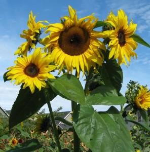 MA'sSunflowers